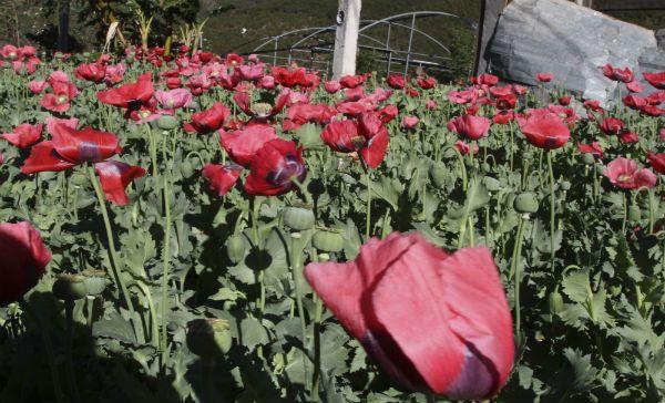 México en lista de EU de países donde se incrementó la producción de opiáceos